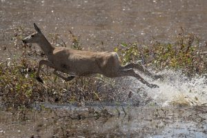 Mule deer dashing through a pond, kicking up spray