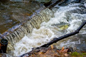 Adult salmon swimming upstream in small creek with waterfall.