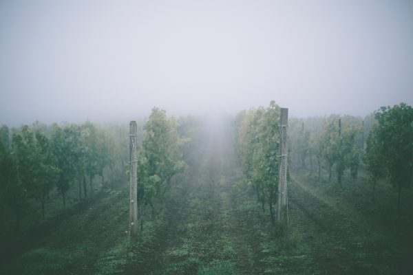 Rows of leafy green grapevines shrouded in mist.