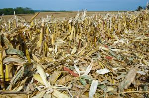 Corn stalks and waste, lying in the field.