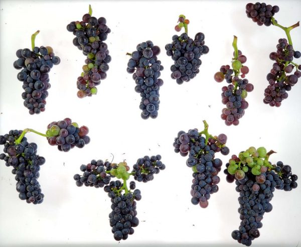 Pinot noir grapes photographed against a white background with small bunches of discolored fruit.