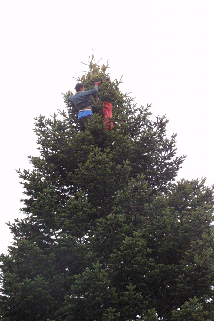 Man harvesting cones, near the top of a tall fir tree.
