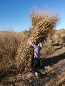 A man almost wraps his arms around a bundle of grass that is twice his height.