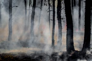 Forest trees burned in a smoky forest fire