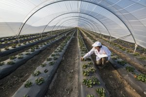 Agricultural engineer working in a large plastic greenhouse.