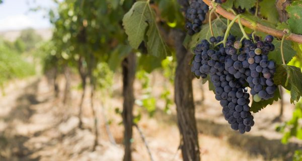 Dark purple wine grapes hang on a bright green vineyard vine in the sun along a dirt trench.