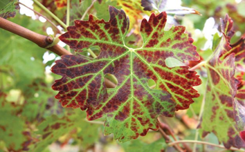 A red grape wine leaf is centered on a green vine.