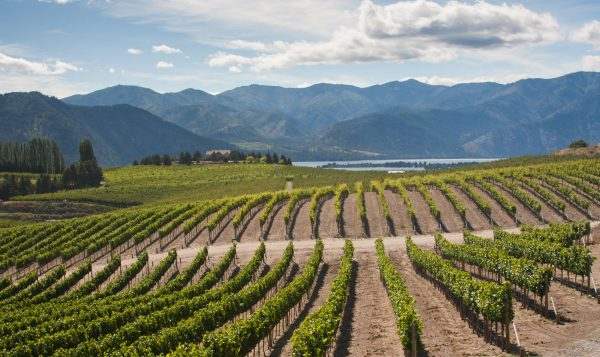 Green rows of grapevines fill the scene before a blue lake and blue mountains in the distance.