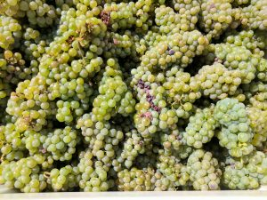 Bright green Riesling grapes are piled on top of each other.