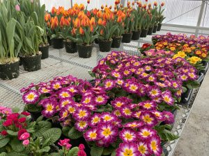 A table full of purple and yellow flowers, with a table of orange tulips in the background.